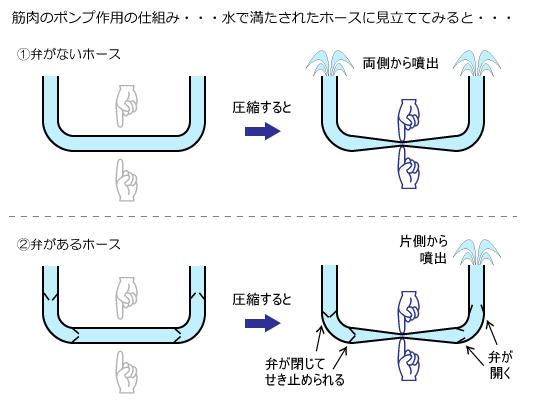 静脈弁模式図